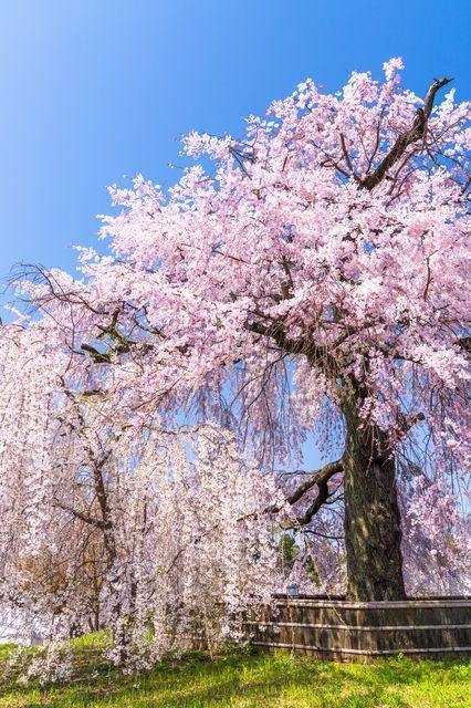 Your Guide To The Top 10 Sakura Viewing Spots In Kyoto Favy Blossom Trees Sakura Hanami