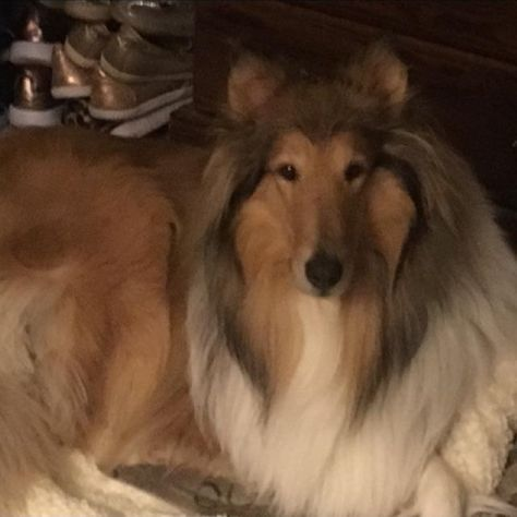 Pin By Patricia Mcnamee On Collies And Shelties Collie Dog Rough Collie Collie Puppies