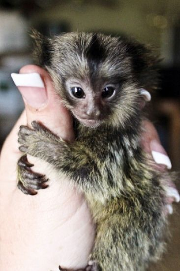 I Am Giving Out My Lovely Babies Prince Princess Out To A Home Who Will Guarantee Me They Will Give T With Images Marmoset Monkey Monkeys For Sale Capuchin Monkey For Sale