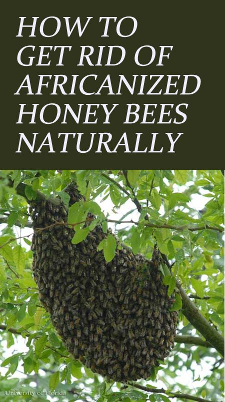 Killer Bees – How To Identify and Get Rid of Africanized