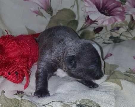 French Bulldog Puppy For Sale In Rochester Mi Adn 64477 On