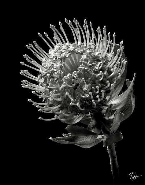 Pincushion Protea In Black And White Photograph