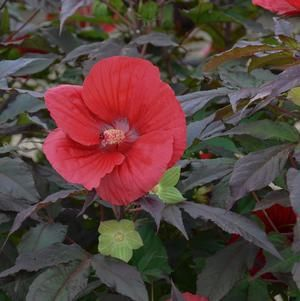 Hibiscus Midnight Marvel 3 Containermidnight Marvel Rose Mallow Hibiscus Plant White Flower Farm Hibiscus
