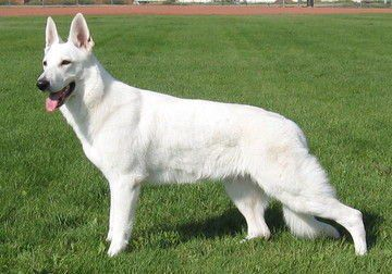 White Shepherd Puppies For Sale Adoption From Taber Alberta