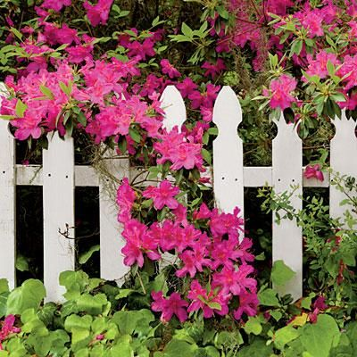 A short picket fence tames the azalea just a bit while also framing the blossoms during the week or so the shrub is in bloom. | thisoldhouse.com