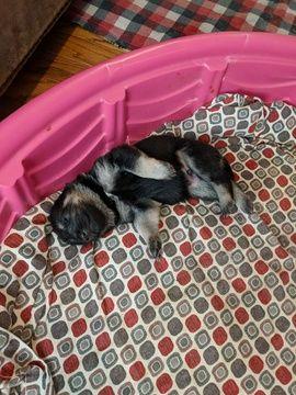 German Shepherd Dog Puppy For Sale In Aiken Sc Adn 69744 On