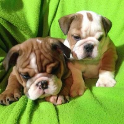 English Bulldog Puppies For Re Homing Austin Bulldog Puppies
