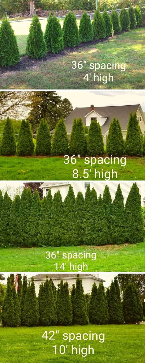 How to plant privacy trees as a hedge. Emerald Green Arborvitae Spacing Examples - getting the spacing right for emerald greens as a privacy hedge. Arborvitae Landscaping, Privacy Landscaping, Home Landscaping, Front Yard Landscaping, Backyard Privacy Trees, Privacy Hedge, Planting For Privacy, Landscaping With Trees, Front Yard Hedges