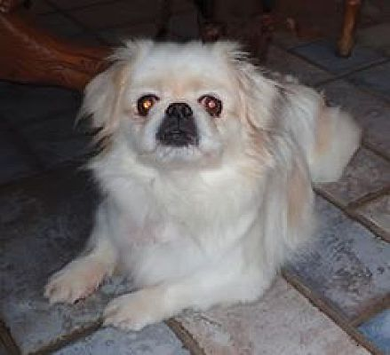 Youngstown Oh Pekingese Meet Marsh A Pet For Adoption