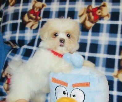 Maltese Puppies For Sale North Wilkesboro Nc In 2020 Maltese