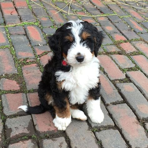 Tiny Bernedoodle Yahoo Search Results Yahoo Image Search
