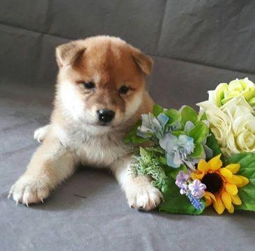 Shiba Inu Puppy For Sale In San Francisco Ca Usa Adn 101798 On
