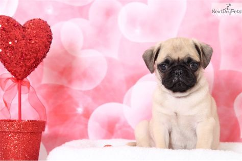 Riley Pug Puppy For Sale Near Baltimore Maryland Fb314ae2 C731