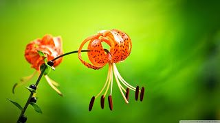 تنزيل احلى صور خلفيات روعة وجديدة وجميلة من أفضل الخلفيات بجودة Hd Lily Flower Flowers Tiger Lily