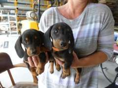 Miniature Dachshund Puppies Puppies For Sale Marrangaroo New