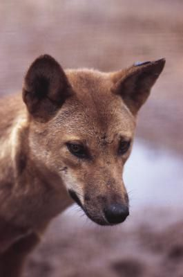 Are There Dingoes In The Usa Dingo Dog Dingo Wild Dogs