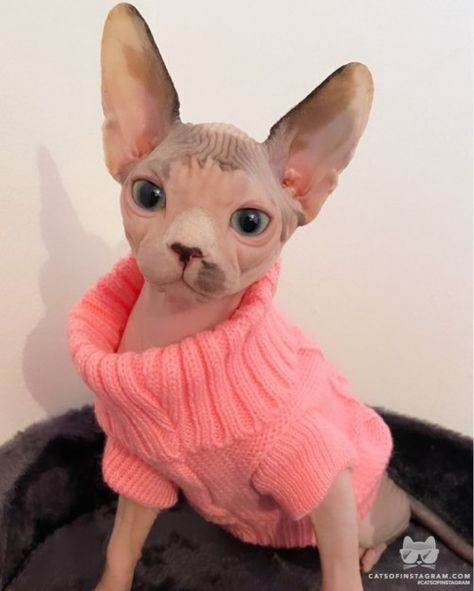 Baby Hairless Cat, Hairless Cats For Sale, Cute Baby Cats, Cute Kittens, Cute Funny Animals, Spinx Cat, Best Cat Breeds, Baby Animals, Cute Sweaters
