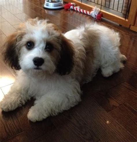 Cavachon Adult Dog Pictures Yahoo Search Results Cavachon
