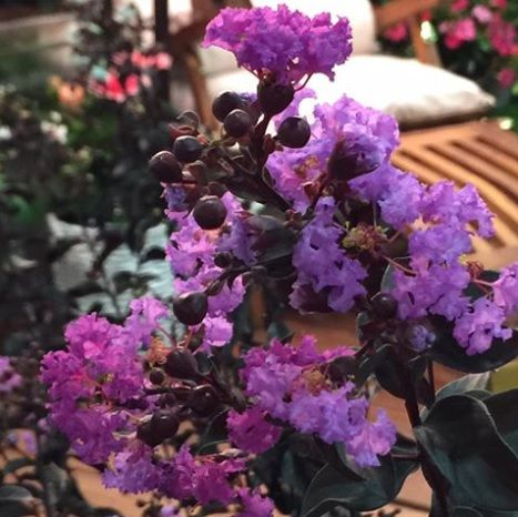 Purely Purple Black Diamond Bloom New For 2015 Blackdiamondcrapemyrtle Crapemyrtle Crape Myrtle Bloom Crepe Myrtle Trees