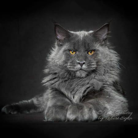Yasha Calico Cat Facts Cat Feline Cats