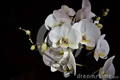 Flowers Of White Orchid With Buds On Background Orchids White Orchids Orchid Flower