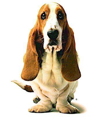 World Champion Southern Hushpuppies Recipe Dog Diapers Basset Hound Dog Hush Puppies