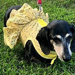 Available Pets At Little Paws Dachshund Rescue In Orangeburg South Carolina Dachshund Rescue Dachshund Adoption Dachshund