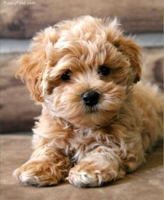 The Maltipoo is a one of the most popular cross-breed or hybrid dog obtained by breeding between a Maltese and a toy or Miniature Poodle. Super Cute Puppies, Cute Small Dogs, Cute Little Puppies, Small Puppies, Cute Dogs And Puppies, Doggies, Cute Dog Mixes, Best Small Dogs, Chien Maltipoo