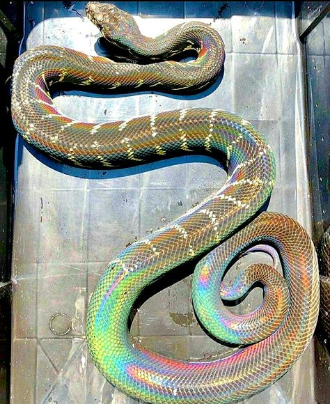 Pin By Katelyn Mae Lindstrom On Sneks Rainbow Snake Pretty