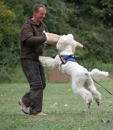 Poodle In Security Training In The Dna To Protect Poodle