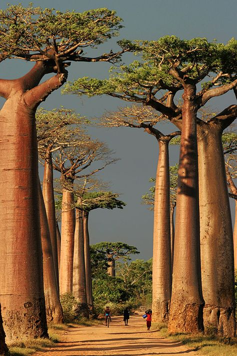 Baobab Alley ~ Morondava, Toliara, Madagascar / The Baobab is the oldest life form on the African continent. In general, Baobab trees can grow up to tall, and can live for years! Places Around The World, Oh The Places You'll Go, Places To Travel, Places To Visit, Around The Worlds, Beautiful World, Beautiful Places, Trees Beautiful, Amazing Places