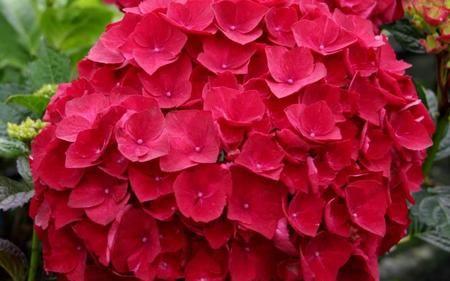 Buy Cardinal Red Hydrangea Online Hydrangea Flower Hydrangea Seeds Beautiful Hydrangeas