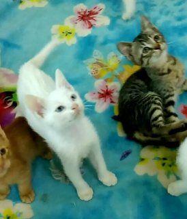 قطط للبيع في أبو ظبي قطط منزلية باعمار مختلفة 55 يوم شهرين ونصف للبيع للجادين جدا وعشاق القطط ملاحظات مهمة البيع لسكان مدينة أبوظبي التواصل ي Cats Animals