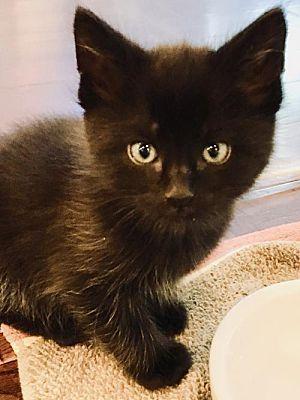Rockaway Nj Domestic Shorthair Meet Albie Lexi Kitten A Cat For Adoption Cat Adoption Kitten Adoption Pets