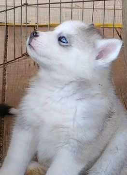 Siberian Husky Puppy For Sale In Lewisport Ky Adn 58672 On