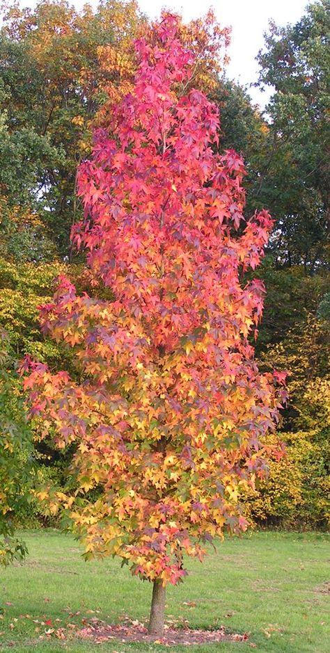 Liquidamber tree in fall