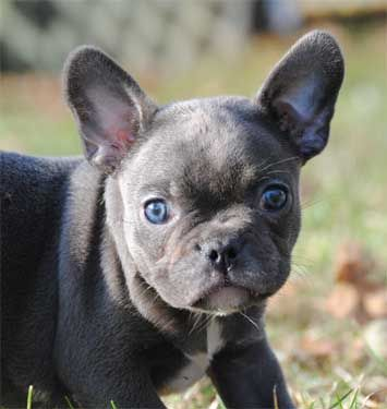 Pretty Little Frenchie Puppies Available French Bulldog Puppies