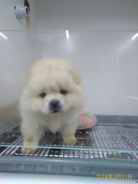 Chow Chow puppy for sale in LOS ANGELES, CA  ADN-68695 on