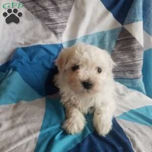 Bichon Frise Puppies For Sale Greenfield Puppies In 2020 Bichon Frise Puppy Bichon Frise Bichon