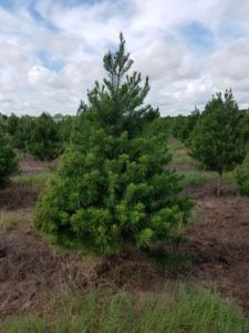 Our Trees Elgin Christmas Tree Farm Christmas Tree Farm Tree Farms Tree