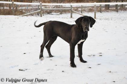 Vulpine Great Danes Past Puppies Great Dane Funny Great Dane