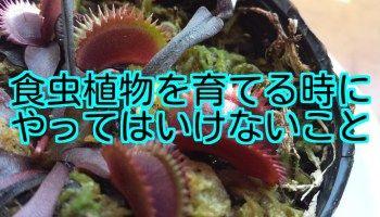 食虫植物を育てる時にやってはいけないこと 食虫植物 育てる 植物