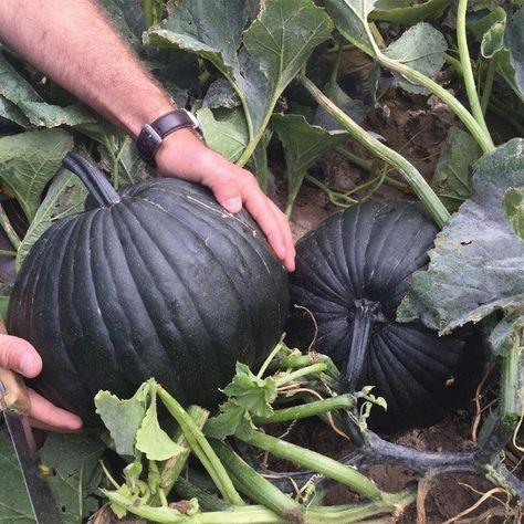 Spend Less On Fertilizers And Pesticides By Trying These Top Organic Horticulture Ideas – Gardening Dark Knight, Garden Seeds, Garden Plants, Black Pumpkin, Pumpkin Pumpkin, Pumpkin Garden, Pumpkin Varieties, Gothic Garden, Black Garden