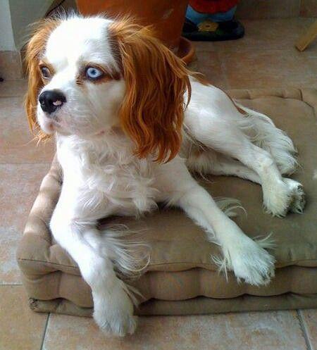 Husky Cavalier Cavalier King Charles Dog Cavalier King Charles Spaniel King Charles Dog