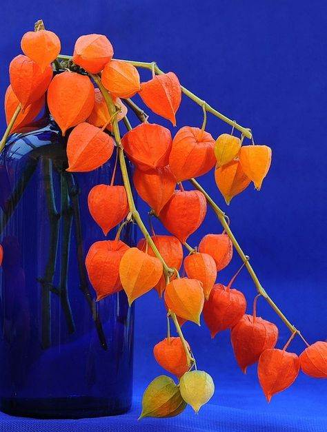 Gardening Autumn - Autumn in Blue and Orange - Chinese Lanterns in cobalt blue vase - Beautiful! - With the arrival of rains and falling temperatures autumn is a perfect opportunity to make new plantations Orange Flowers, Orange Color, Flowers Vase, Art Texture, Orange Aesthetic, Orange You Glad, Chinese Lanterns, Complimentary Colors, Orange Crush