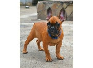 French Bulldog For Sale Wisconsin French Bulldog French