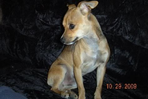 Chipit Dog Pictures Chipits Close To Butter Bean Like Him