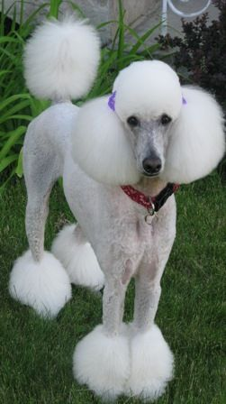 A Palm Springs Miami Bikini Clown Clip It Is Poodle