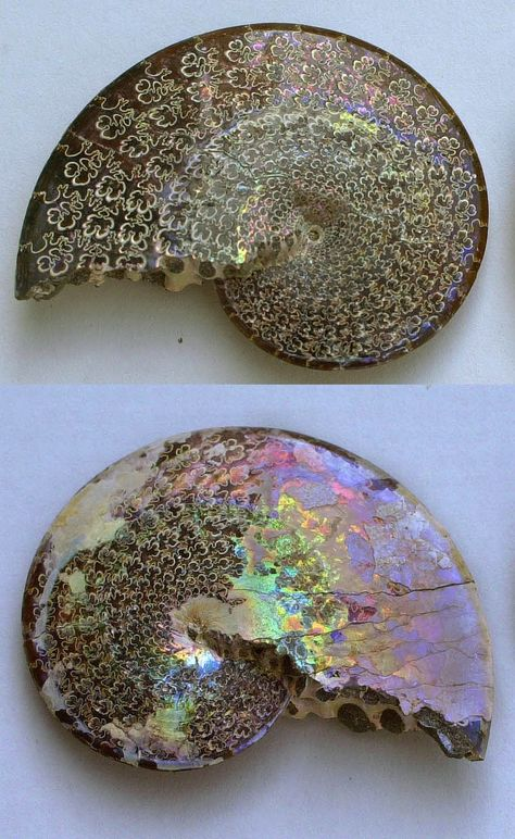 Ammonite,Sphenodiscus lenticularis, from the Fox Hills Formation, South Dakota.Both sides display intricate suture patterns and an iridescent nacreous layer. This laterally flattened Ammonite is thought to be a fast swimmer. Minerals And Gemstones, Rocks And Minerals, Dame Nature, Cool Rocks, Mineral Stone, Vanitas, Rocks And Gems, Flower Of Life, Stones And Crystals