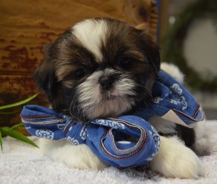 Shih Tzu Puppy For Sale In Tucson Az Adn 71540 On Puppyfinder